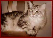 Unser Main Coon Kater